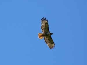 Red-Tailed Hawk - photo by Lucille (c)