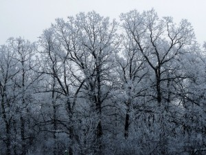 Hoarfrost-covered forest - photo by Lucille (c)