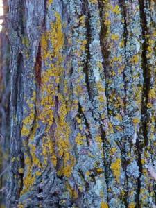 tree-lichen