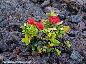 Ohia-lehua-tree-in-lava