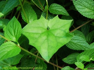 heart-leaf-Hawaii