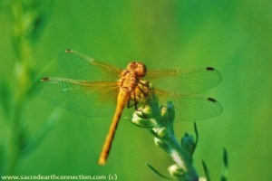 Meadowhawk-dragonfly-MB-Canada