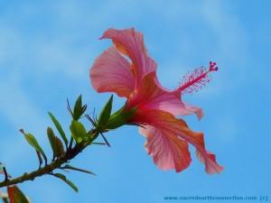Hibiscus-Hawaii-island