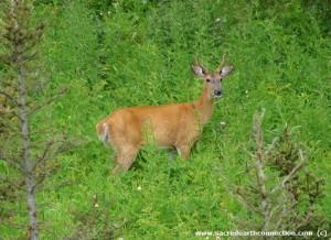 White-tailed-deer-buck