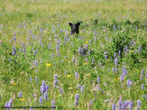 bear-in-meadow