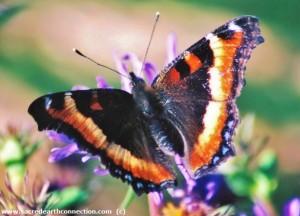 Milberts-tortoiseshell-butterfly