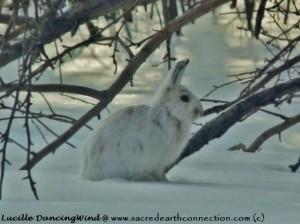 Wild-Hare