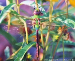 green-darner-dragonfly