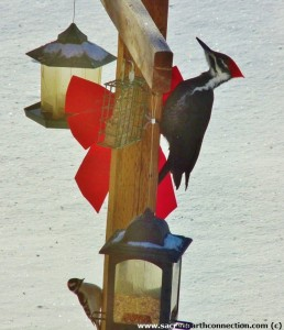 pileated-downy-woodpeckers