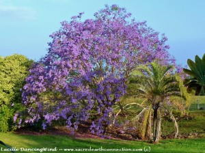 Jacaranda-blossoming-tree