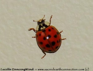 Lady-beetle