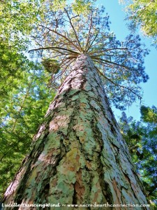 Red Pine tree standing majestically on Galt Island, Lake of the Woods, Ontario, Canada