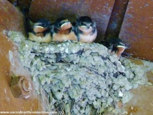 baby-barn-swallows