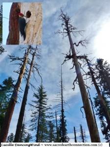 Pileated-woodpecker-on-tree-in-Mariposa-Grove-Yosemite