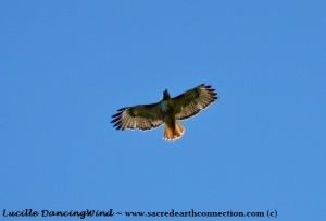 Red-Tailed-Hawk-birthday-appearance