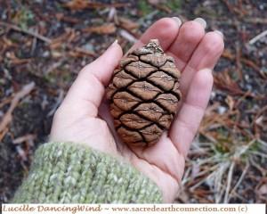 Sequoia-pinecone