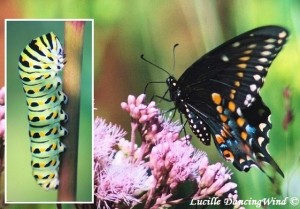 Black Swallowtail beauties