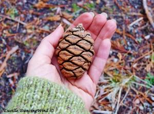 Sequoia pinecone