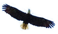 Untitled-1eagle