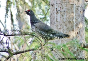 AK spruce grouse