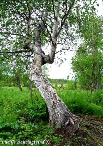 AK contorted tree